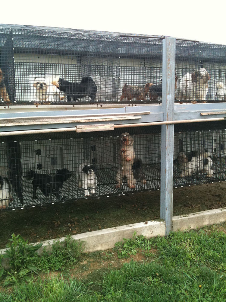 The Puppy Mill Project – Amish Puppy Mills